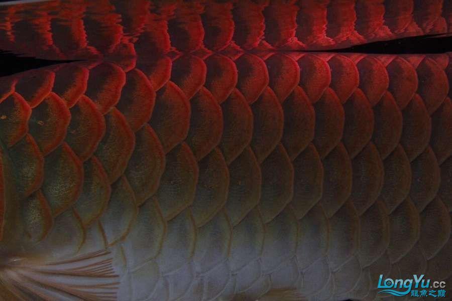 转让红龙 西安龙鱼论坛 西安博特第4张