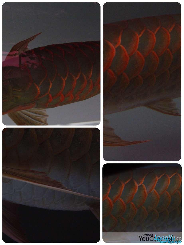 转让红龙 西安龙鱼论坛 西安博特第8张