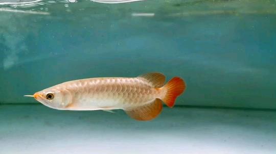 找个大西安鸭嘴鱼加盟师给此鱼看个面相 西安观赏鱼信息 西安博特第1张