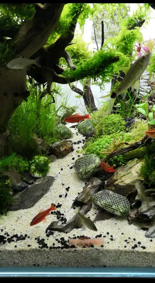【西安哪家有白子银龙】天热吃点西瓜 西安观赏鱼信息 西安博特第1张