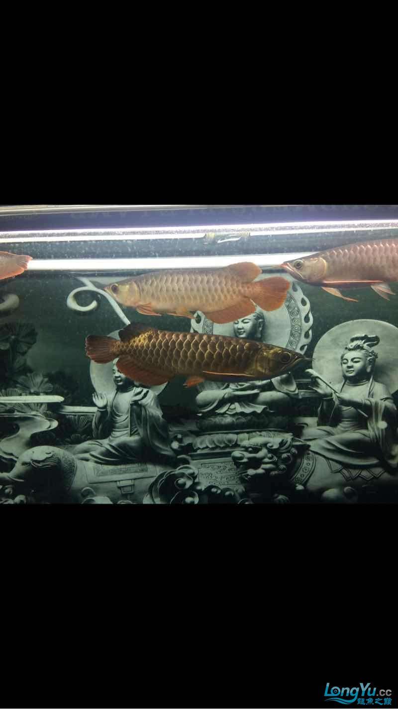 深夜给爱鱼拍几张 西安龙鱼论坛 西安博特第1张