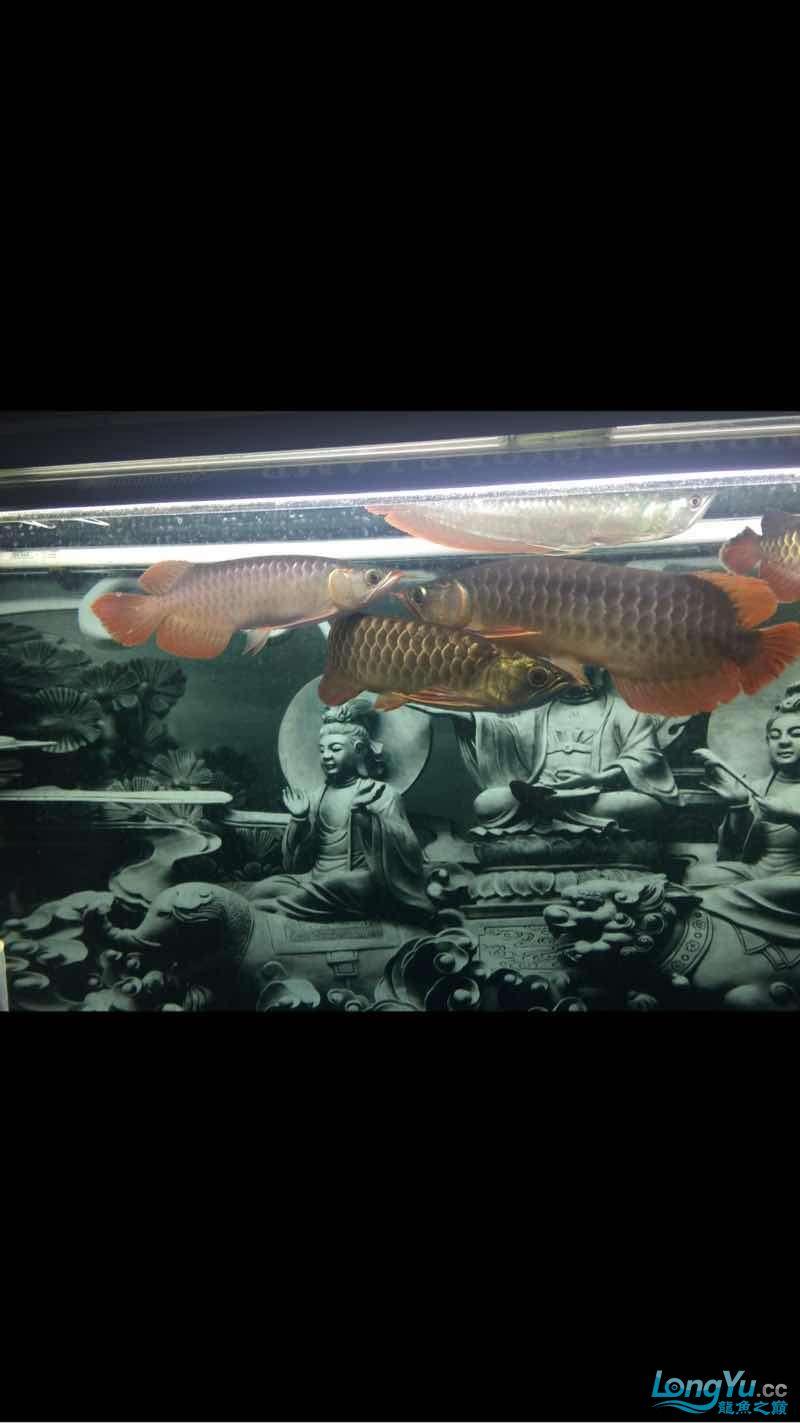 深夜给爱鱼拍几张 西安龙鱼论坛 西安博特第3张