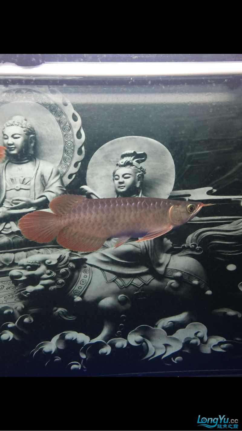 深夜给爱鱼拍几张 西安龙鱼论坛 西安博特第7张