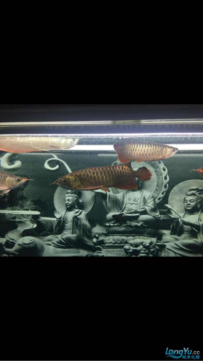 深夜给爱鱼拍几张 西安龙鱼论坛 西安博特第4张