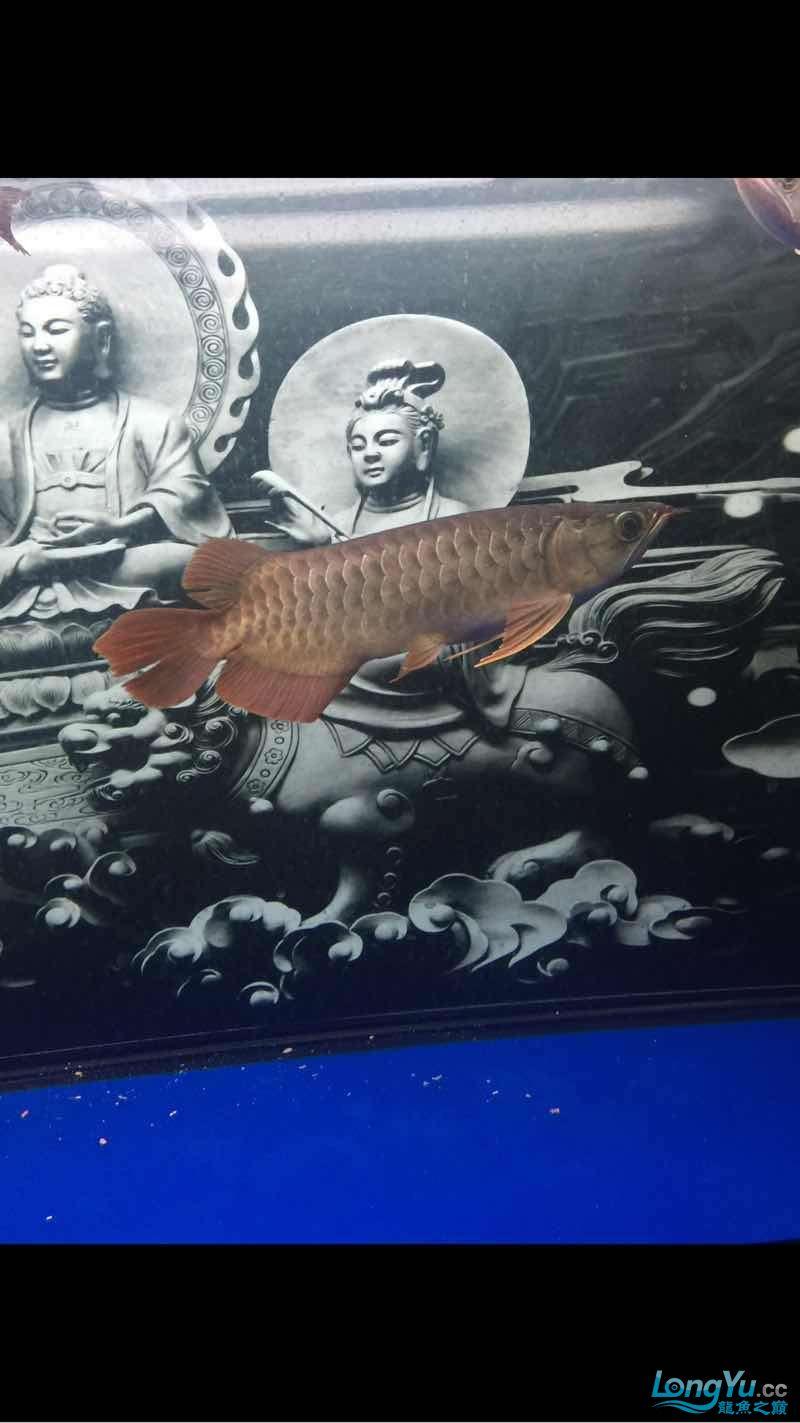 深夜给爱鱼拍几张 西安龙鱼论坛 西安博特第6张