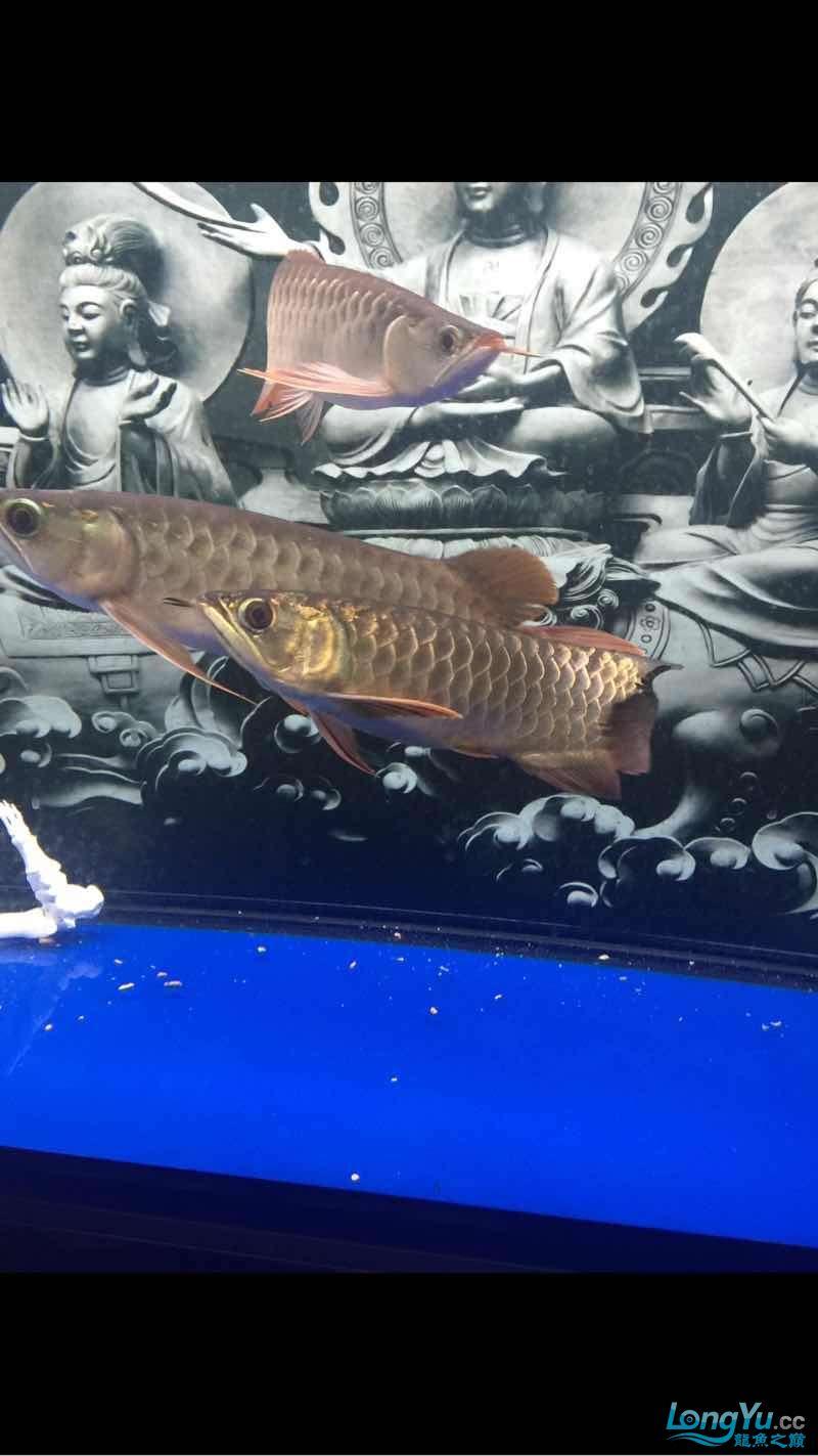 深夜给爱鱼拍几张 西安龙鱼论坛 西安博特第10张