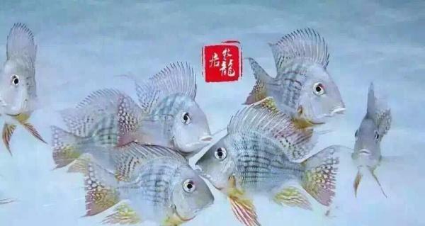 大【西安水族鱼缸】饼鱼 西安龙鱼论坛