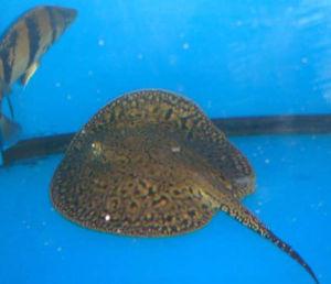 【西安狗仔鲸(红尾猫)】【每日一鱼】三色魟鱼淡水魟鱼的一种! 西安观赏鱼信息
