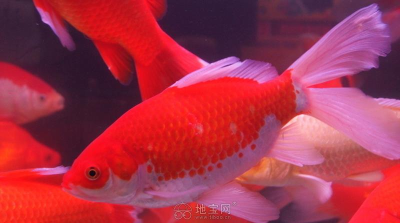 更新一下 西安观赏鱼信息 西安博特第2张