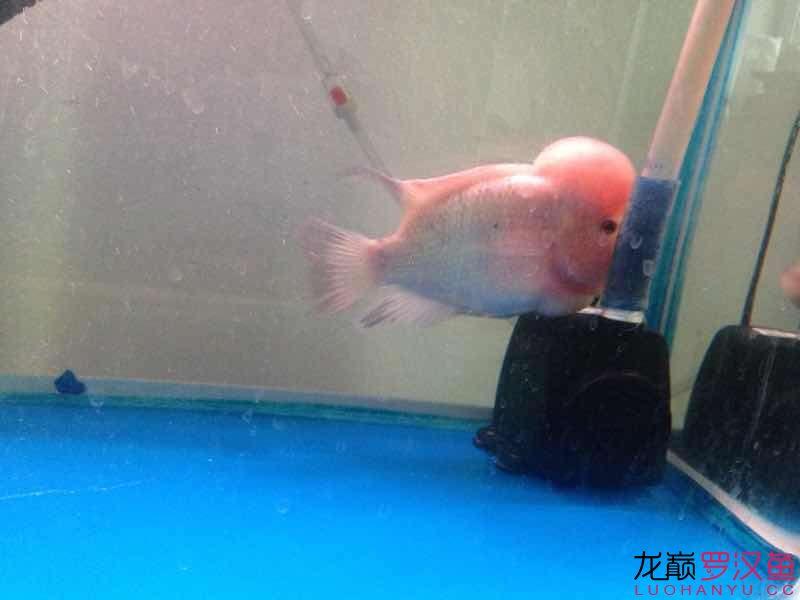 【西安观赏鱼市场】感觉头又变大了点 西安龙鱼论坛 西安博特第1张