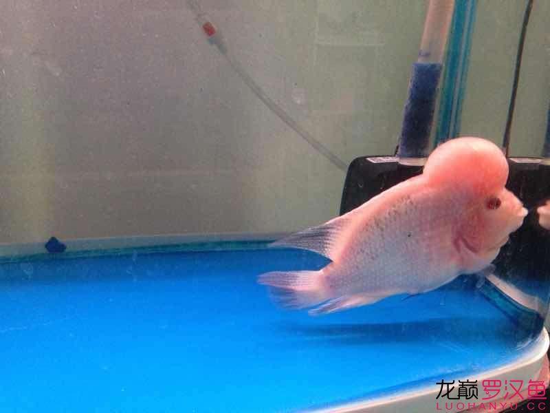 【西安观赏鱼市场】感觉头又变大了点 西安龙鱼论坛 西安博特第2张