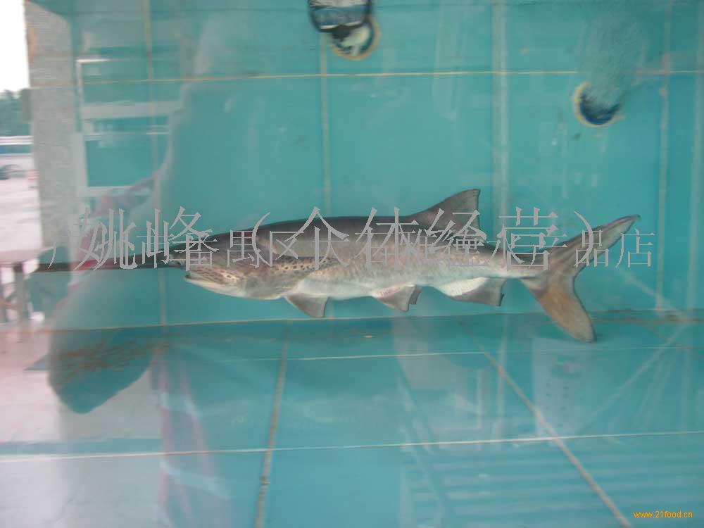 开饭—每餐一只小虾 西安观赏鱼信息 西安博特第2张