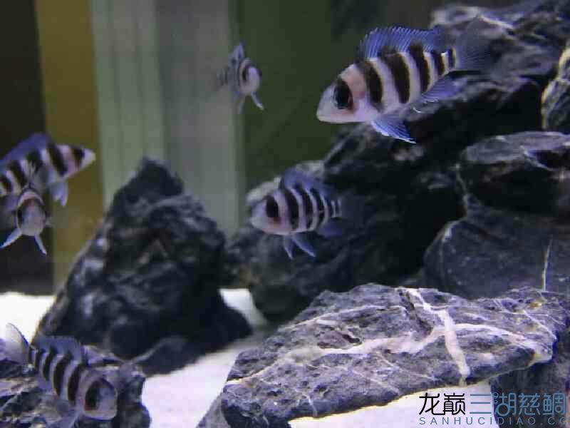 我的小布隆迪又长大些了 西安观赏鱼信息 西安博特第2张