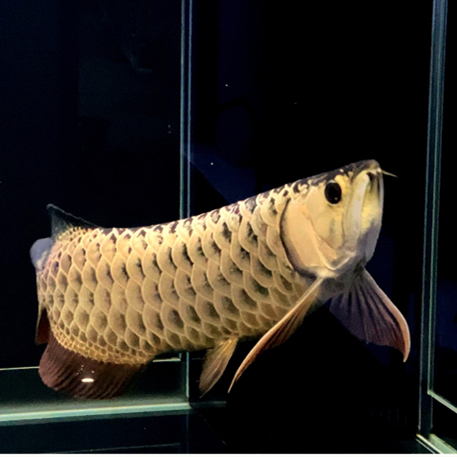 古《西安》典过背金龙鱼