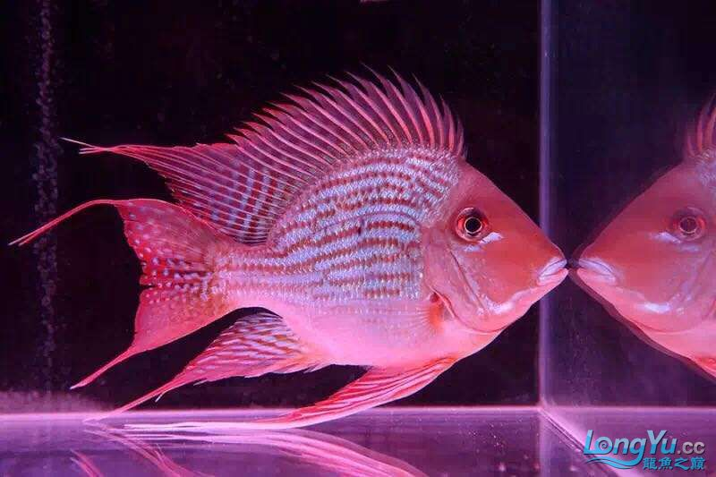 龙鱼高端配鱼进口元宝凤《西安》凰鱼 混养鱼(西安龙鱼配鱼) 西安博特第3张