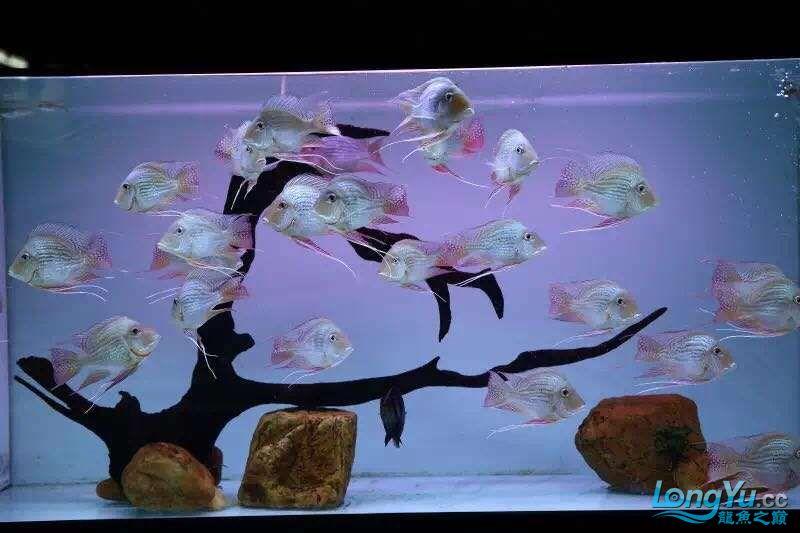 龙鱼高端配鱼进口元宝凤《西安》凰鱼 混养鱼(西安龙鱼配鱼) 西安博特第4张
