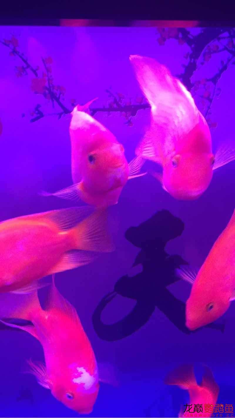 新手缸开缸一个月养的鹦鹉 鱼友指点一下 西安龙鱼论坛 西安博特第2张