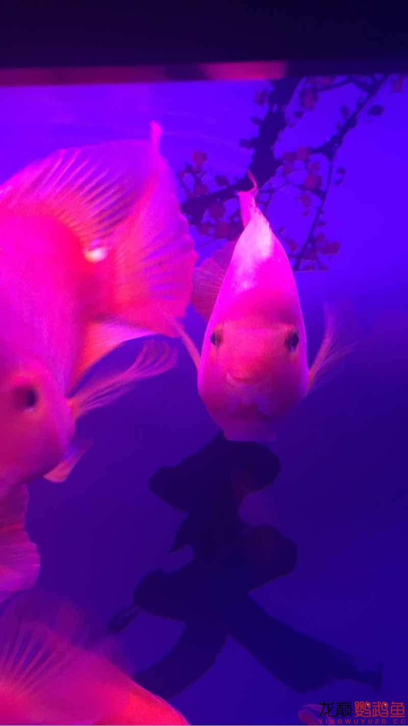 新手缸开缸一个月养的鹦鹉 鱼友指点一下
