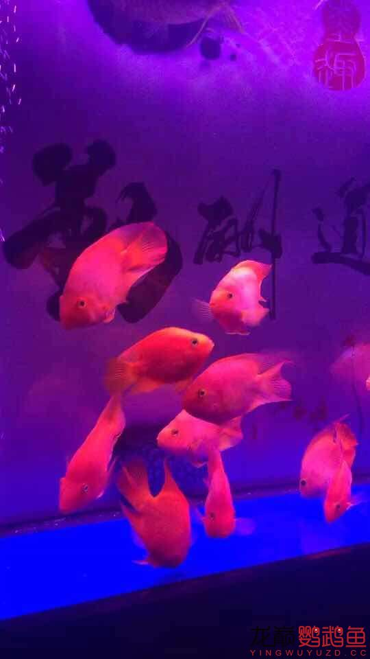 新手缸开缸一个月养的鹦鹉 鱼友指点一下 西安龙鱼论坛 西安博特第4张