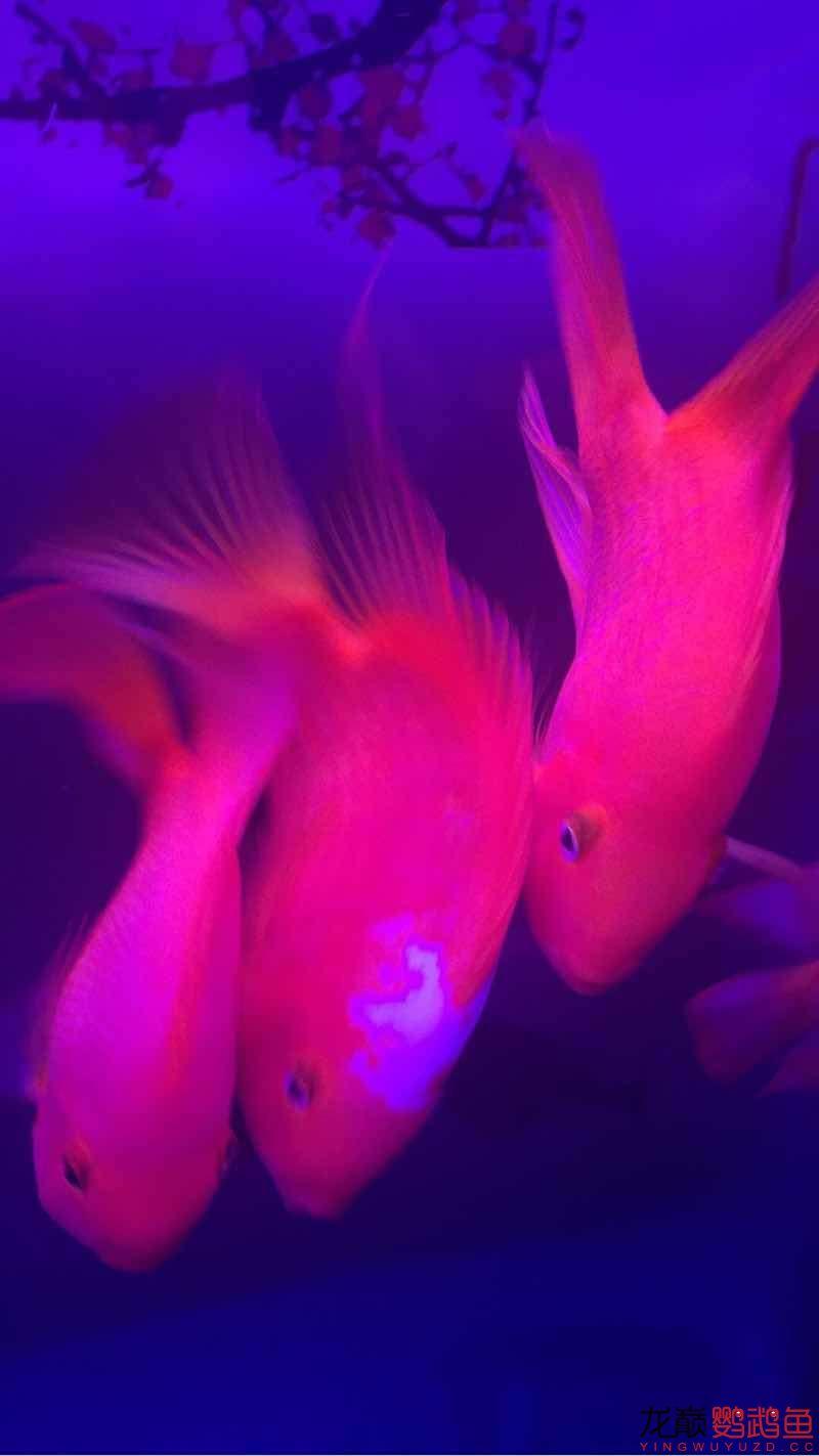 新手缸开缸一个月养的鹦鹉 鱼友指点一下 西安龙鱼论坛 西安博特第6张