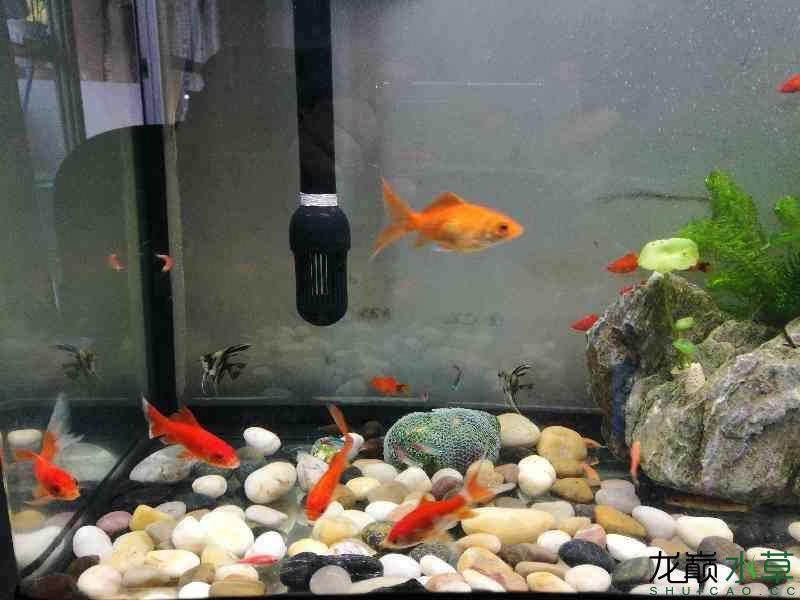 【西安水族花卉市场】神仙鱼被吃了吗? 西安龙鱼论坛 西安博特第1张