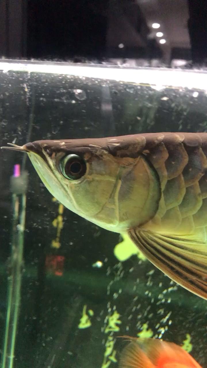 【西安高品质罗汉鱼】求鉴定公龙母龙 西安龙鱼论坛 西安博特第1张
