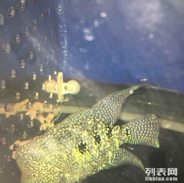 【西安台湾蝴蝶鲤】【快过年了 西安最全批发市场攻略(附电话)做生意大全】 西安观赏鱼信息 西安博特第2张
