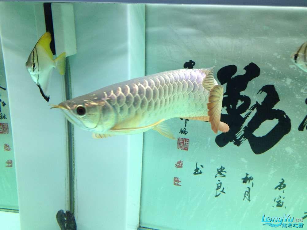 【西安哪个水族店有福满钻鱼】小金龙到家6个月了 西安龙鱼论坛 西安博特第1张