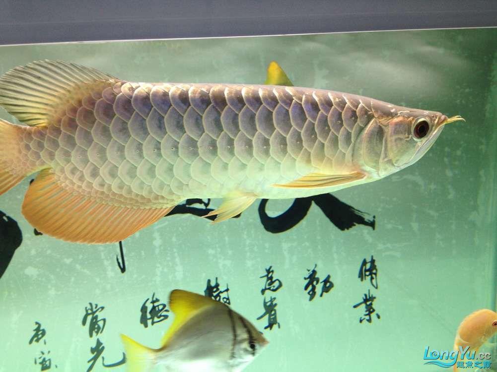 【西安哪个水族店有福满钻鱼】小金龙到家6个月了 西安龙鱼论坛 西安博特第2张
