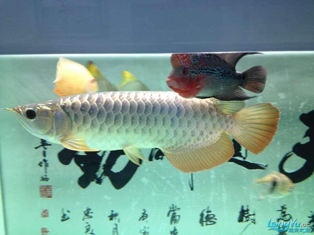 【西安哪个水族店有福满钻鱼】小金龙到家6个月了 西安龙鱼论坛 西安博特第3张
