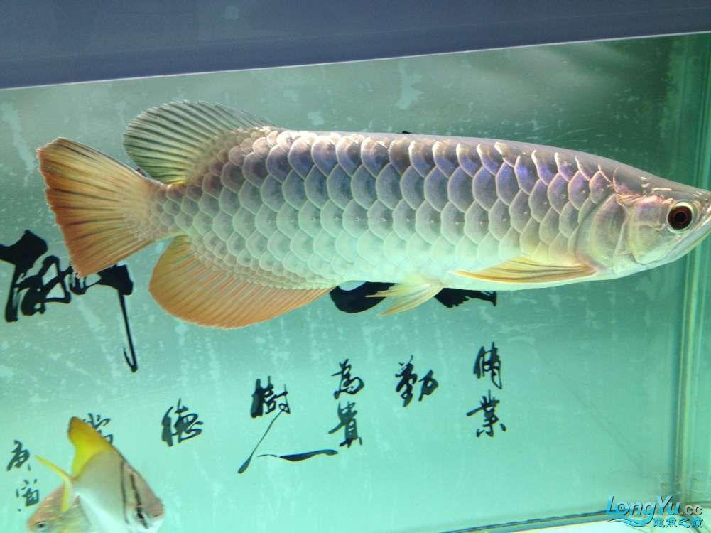 【西安哪个水族店有福满钻鱼】小金龙到家6个月了 西安龙鱼论坛 西安博特第4张