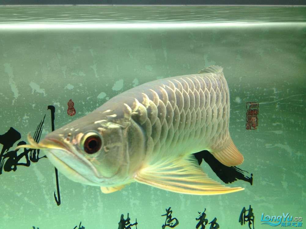 【西安哪个水族店有福满钻鱼】小金龙到家6个月了 西安龙鱼论坛 西安博特第6张