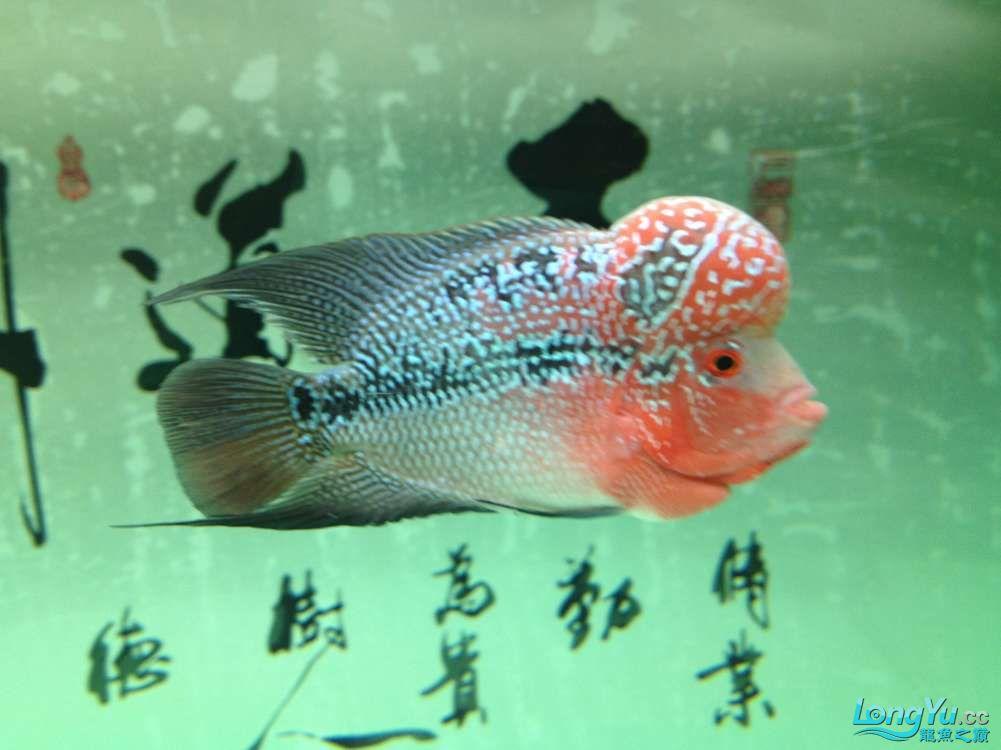 【西安哪个水族店有福满钻鱼】小金龙到家6个月了 西安龙鱼论坛 西安博特第7张