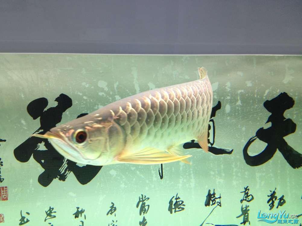 【西安哪个水族店有福满钻鱼】小金龙到家6个月了 西安龙鱼论坛 西安博特第8张