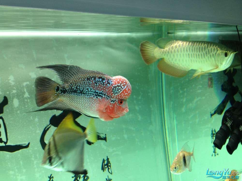 【西安哪个水族店有福满钻鱼】小金龙到家6个月了 西安龙鱼论坛 西安博特第9张
