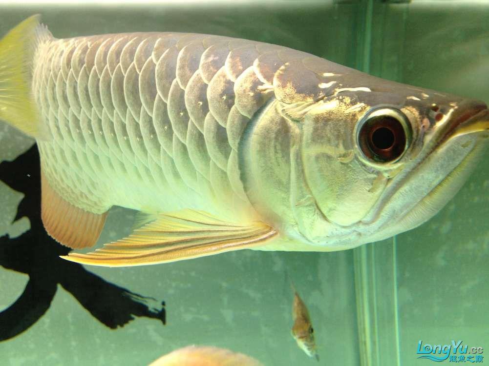 【西安哪个水族店有福满钻鱼】小金龙到家6个月了 西安龙鱼论坛 西安博特第10张