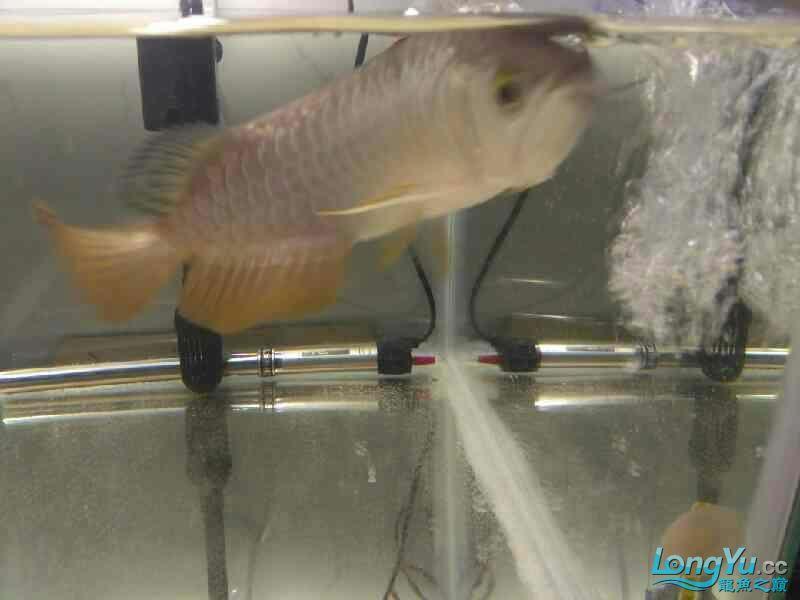 请的第一条龙 西安观赏鱼信息 西安博特第2张