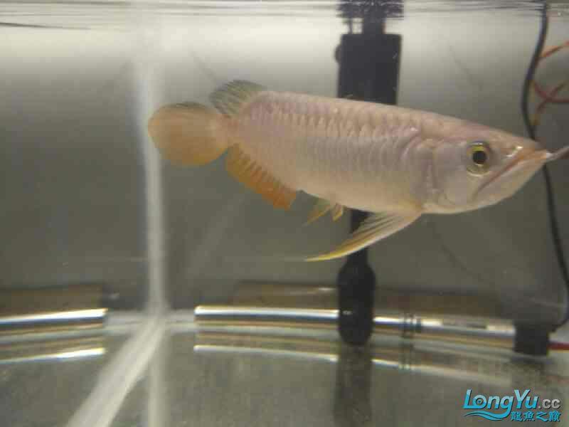 请的第一条龙 西安观赏鱼信息 西安博特第3张