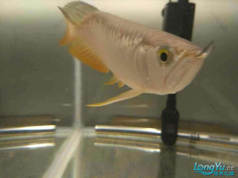 请的第一条龙 西安观赏鱼信息 西安博特第4张