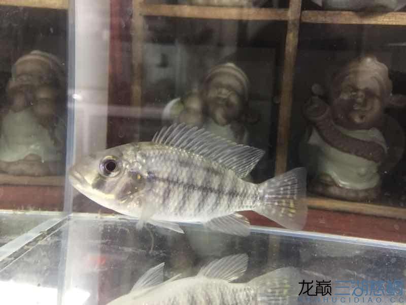 【西安花鸟鱼市场】猜猜什么鱼?什么品种?