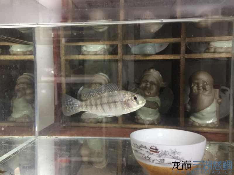 【西安花鸟鱼市场】猜猜什么鱼?什么品种? 西安龙鱼论坛 西安博特第2张