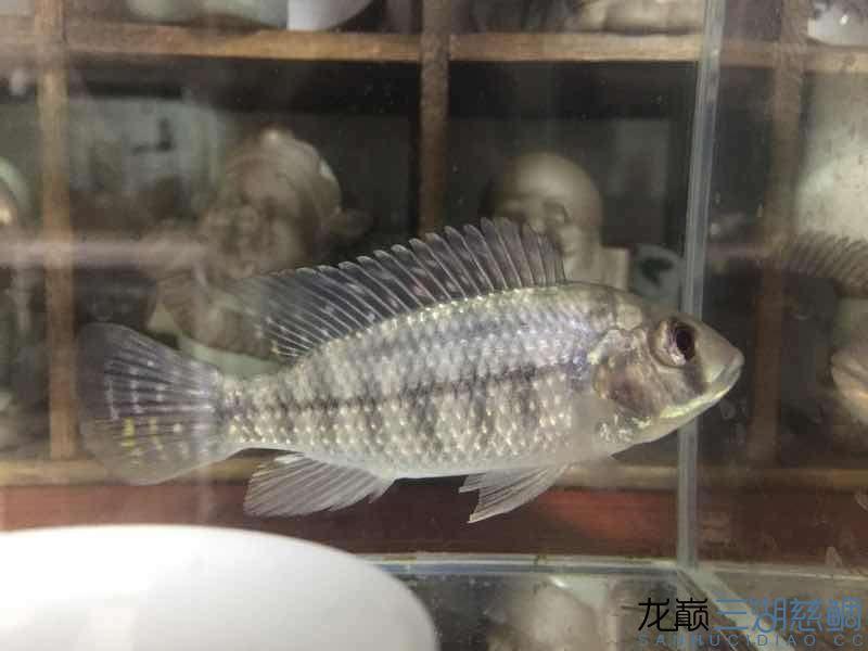 【西安花鸟鱼市场】猜猜什么鱼?什么品种? 西安龙鱼论坛 西安博特第3张