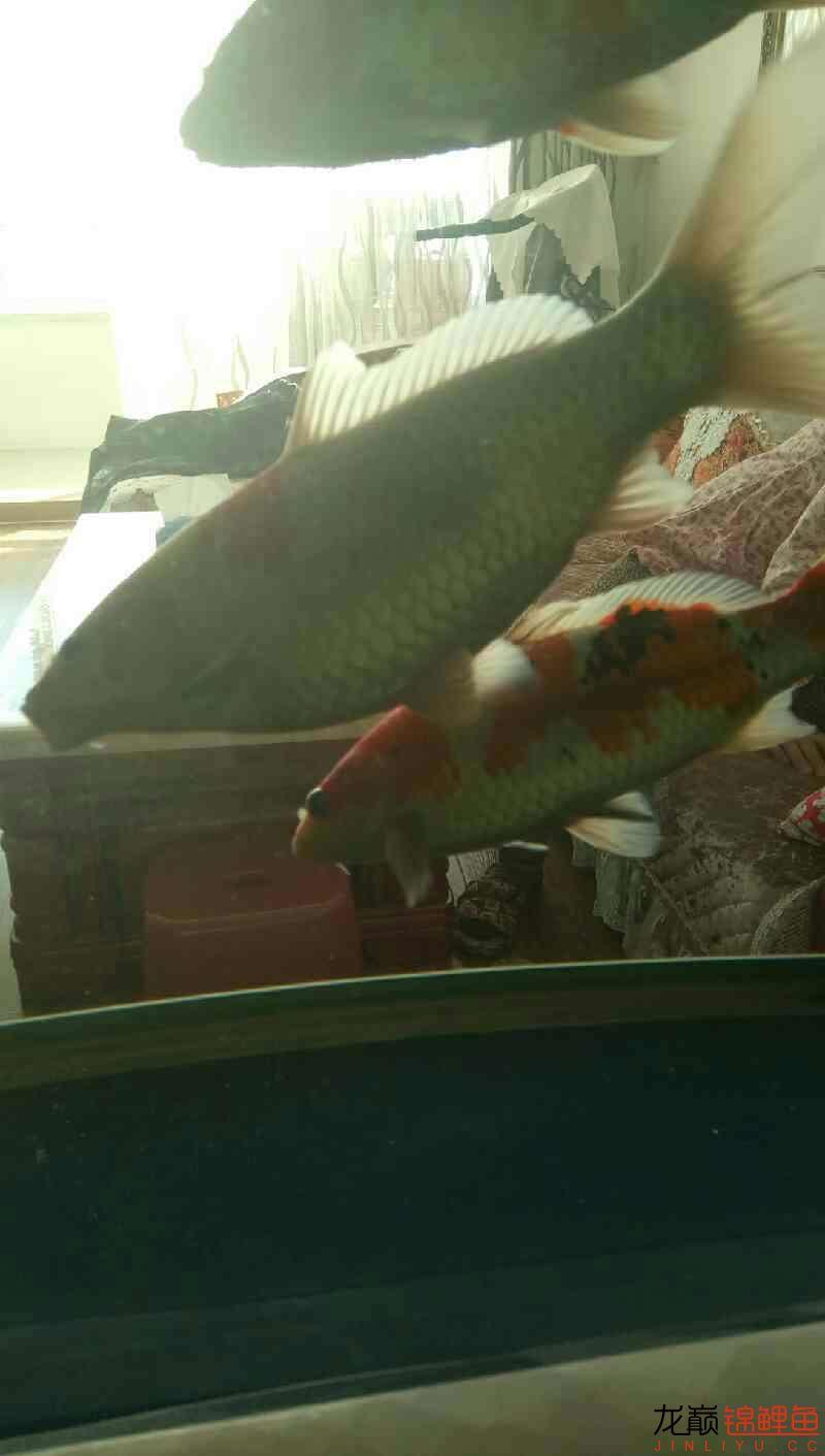 鱼便松散 西安观赏鱼信息 西安博特第2张