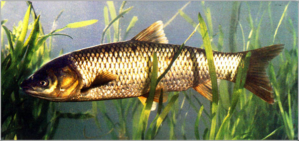求养虎鱼大神帮忙选一下印尼三纹虎 西安龙鱼论坛