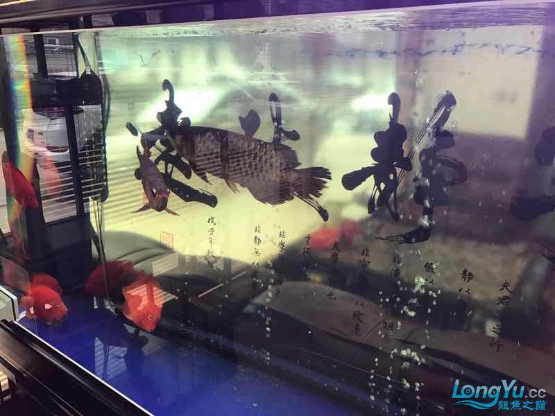 【西安伊巴卡鱼】一条红龙一条金龙打的很厉害怎么办 西安龙鱼论坛 西安博特第1张