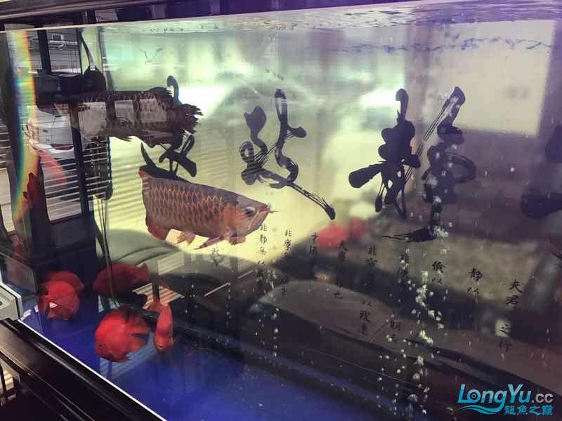 【西安伊巴卡鱼】一条红龙一条金龙打的很厉害怎么办 西安龙鱼论坛 西安博特第2张