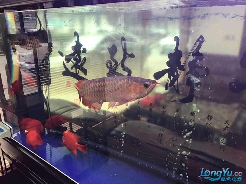 【西安伊巴卡鱼】一条红龙一条金龙打的很厉害怎么办 西安龙鱼论坛 西安博特第3张