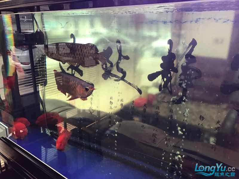 【西安伊巴卡鱼】一条红龙一条金龙打的很厉害怎么办 西安龙鱼论坛 西安博特第4张
