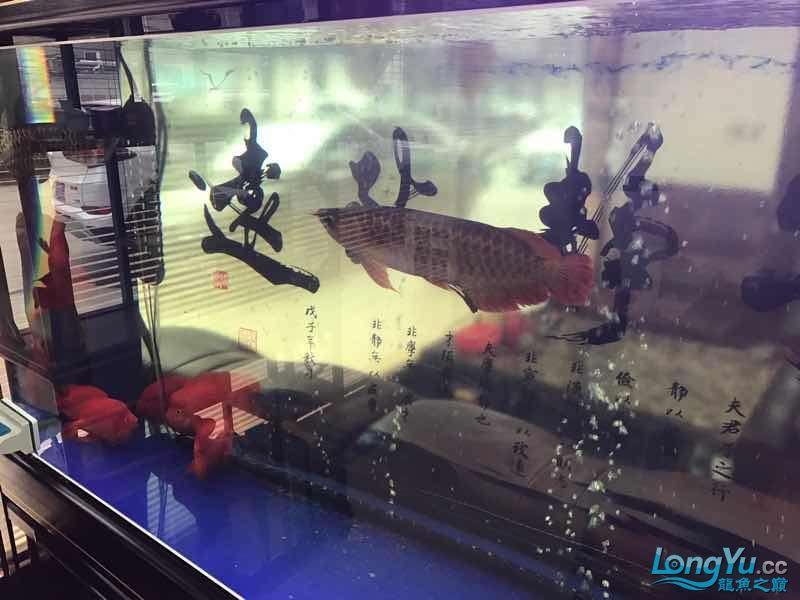 【西安伊巴卡鱼】一条红龙一条金龙打的很厉害怎么办 西安龙鱼论坛 西安博特第5张