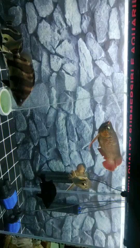 两个龙戏球 西安观赏鱼信息 西安博特第1张